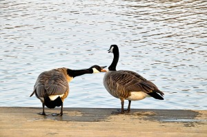 wild-geese-716289_640